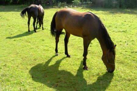 Pferderasse-Traber