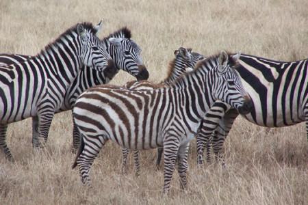 Zebras53b279c19c2bb