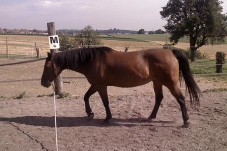 Longieren-Pferde